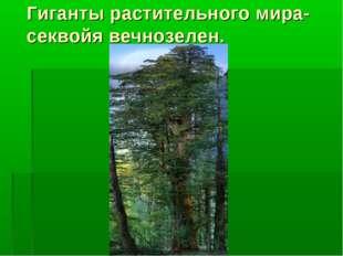 Гиганты растительного мира-секвойя вечнозелен.