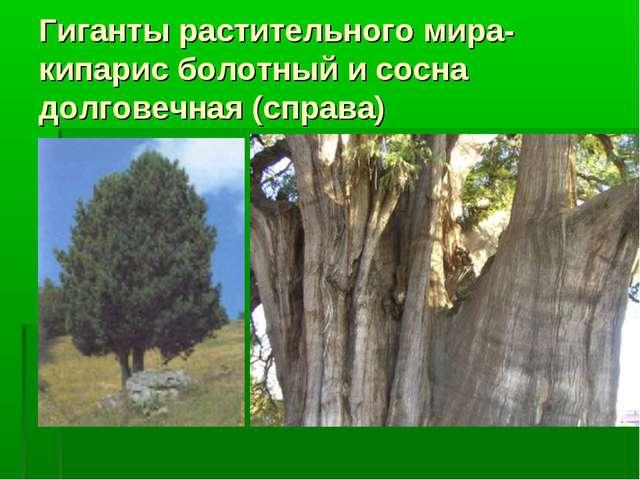Гиганты растительного мира-кипарис болотный и сосна долговечная (справа)