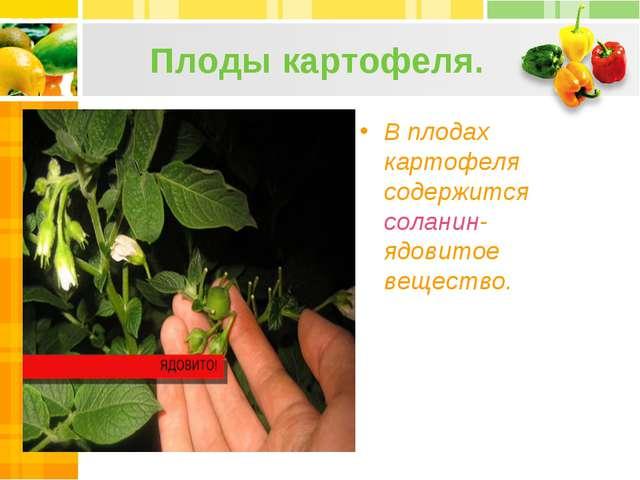 Плоды картофеля. В плодах картофеля содержится соланин- ядовитое вещество.