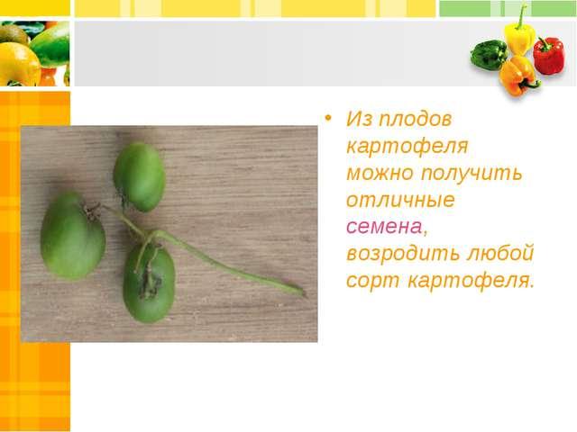 Из плодов картофеля можно получить отличные семена, возродить любой сорт карт...