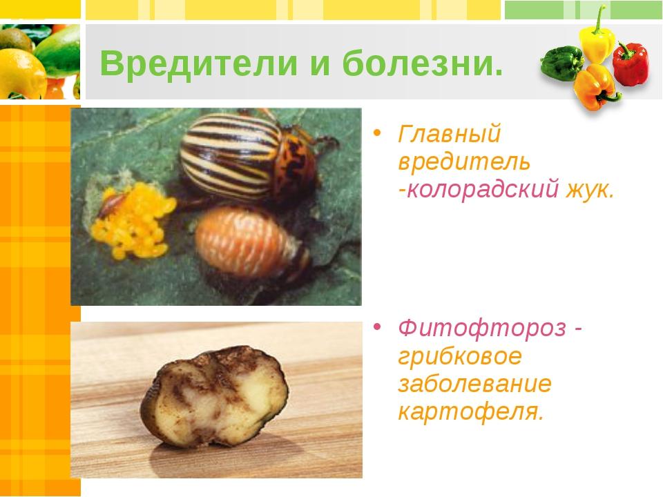 Вредители и болезни. Главный вредитель -колорадский жук. Фитофтороз - грибков...