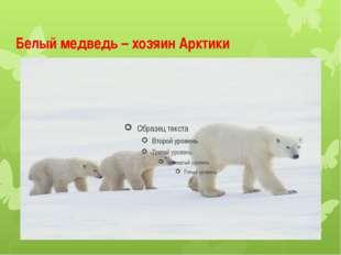 Белый медведь – хозяин Арктики