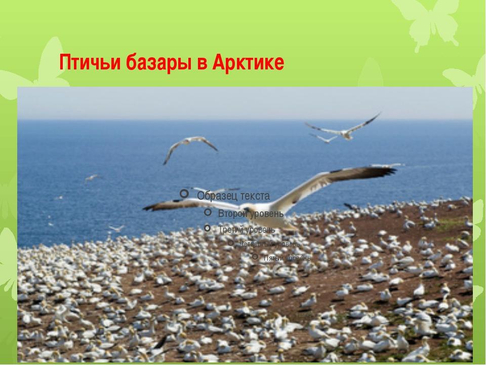 Птичьи базары в Арктике