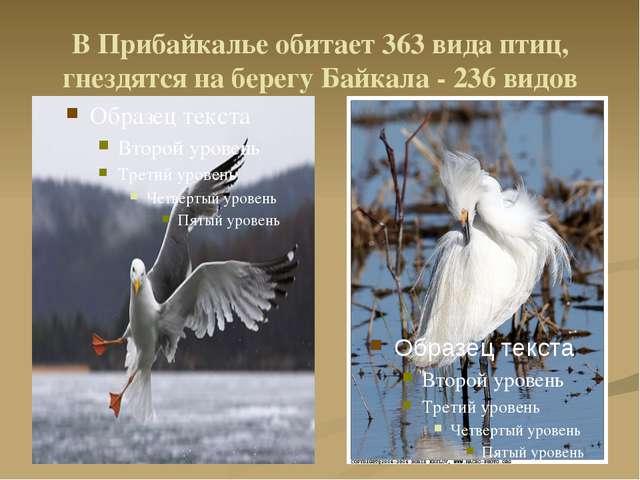 В Прибайкалье обитает 363 вида птиц, гнездятся на берегу Байкала - 236 видов