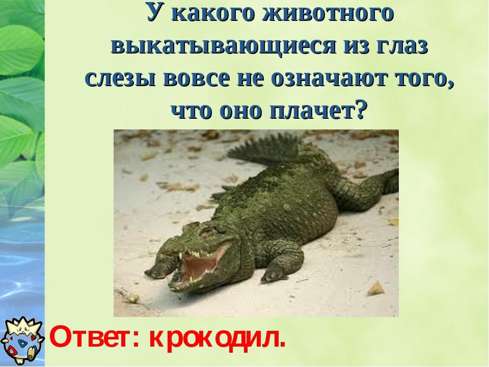 У какого животного выкатывающиеся из глаз слезы вовсе не означают того, что о...