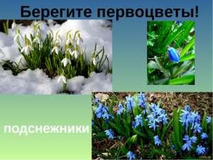 Берегите первоцветы! подснежники
