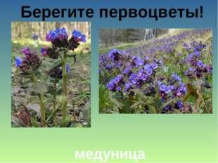 Берегите первоцветы! медуница