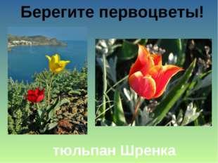 Берегите первоцветы! тюльпан Шренка