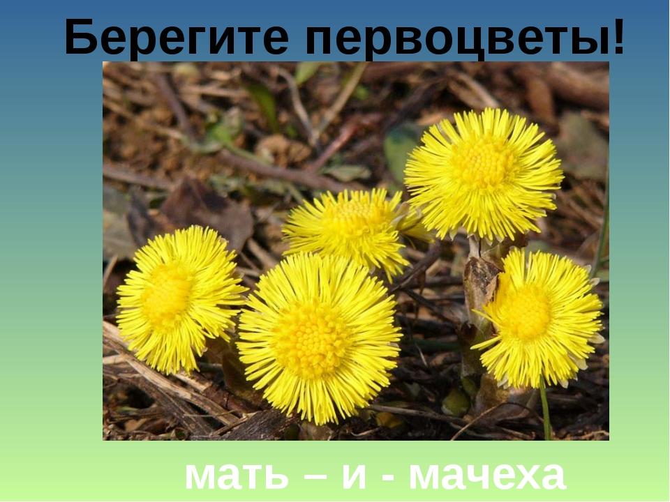 Берегите первоцветы! мать – и - мачеха