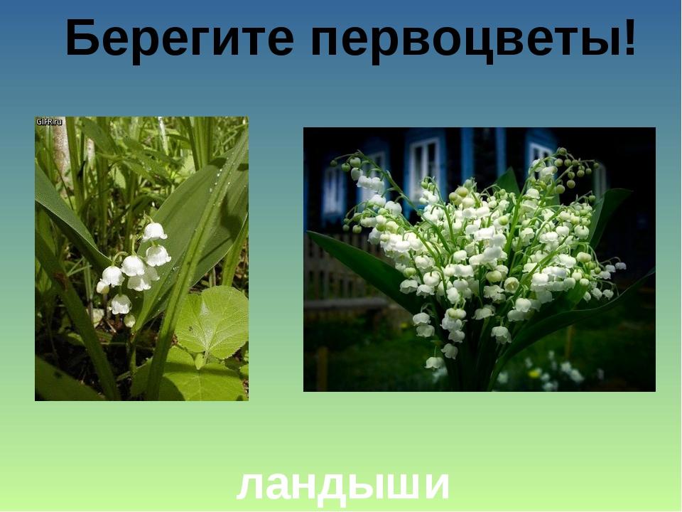 Берегите первоцветы! ландыши