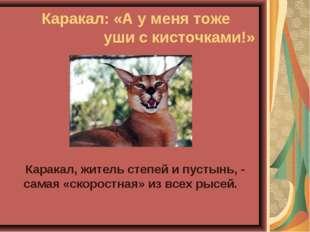 Каракал: «А у меня тоже уши с кисточками!» Каракал, житель степей и пусты
