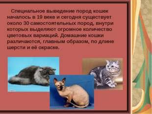 Специальное выведение пород кошек началось в 19 веке и сегодня существует ок