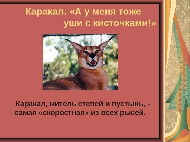 Каракал: «А у меня тоже уши с кисточками!» Каракал, житель степей и пусты...