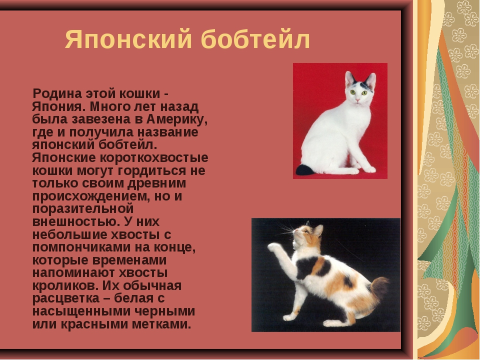 Японский бобтейл Родина этой кошки - Япония. Много лет назад была завезена в...