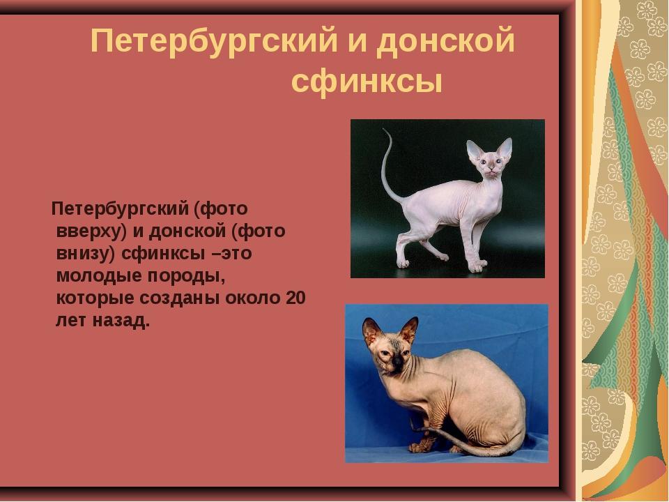 Петербургский и донской сфинксы Петербургский (фото вверху) и донской (ф...