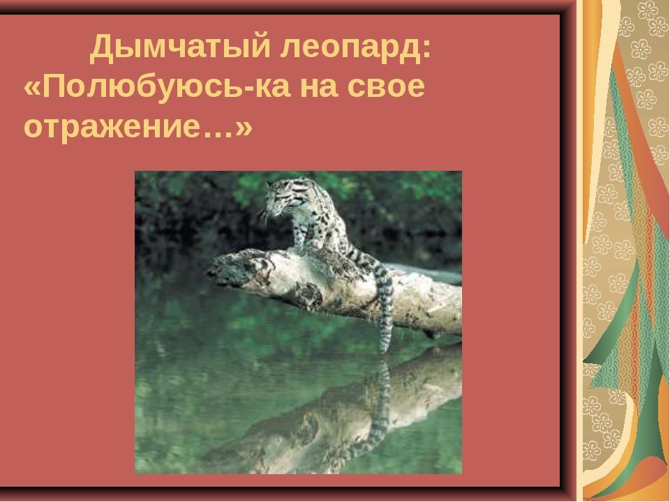 Дымчатый леопард: «Полюбуюсь-ка на свое отражение…»