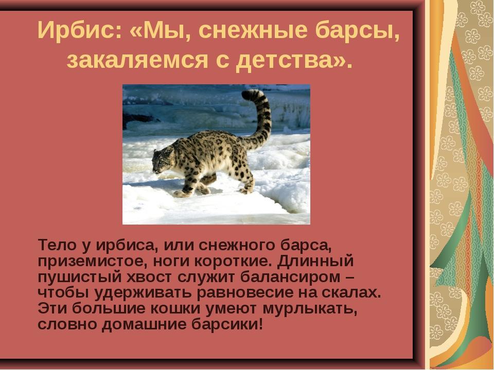 Ирбис: «Мы, снежные барсы, закаляемся с детства». Тело у ирбиса, или снежно...