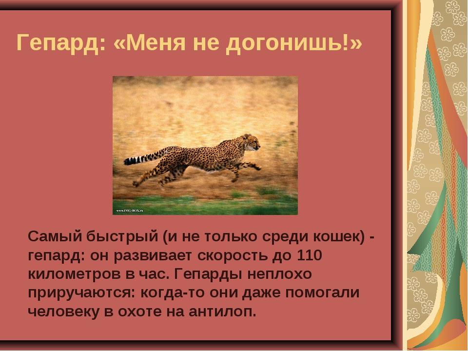 Гепард: «Меня не догонишь!» Самый быстрый (и не только среди кошек) - гепард:...