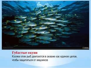 Губастые окуни Косяки этих рыб двигаются в океане как единое целое, чтобы защ