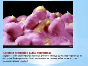Колония асцидий и рыба-прилипала Асцидии — класс мешкообразных животных длино