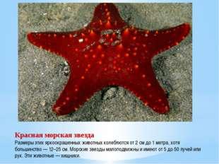 Красная морская звезда Размеры этих яркоокрашенных животных колеблются от 2 с