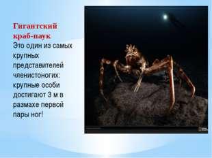 Гигантский краб-паук Это один из самых крупных представителей членистоногих: