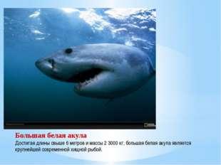 Большая белая акула Достигая длины свыше 6 метров и массы 2 3000 кг, большая