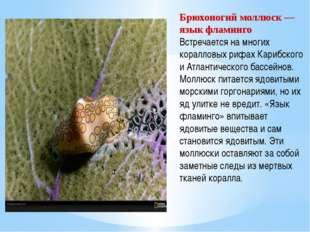 Брюхоногий моллюск — язык фламинго Встречается на многих коралловых рифах Кар