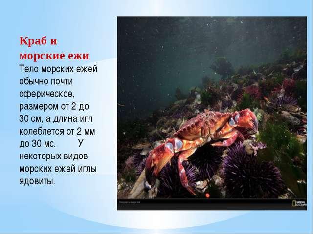 Краб и морские ежи Тело морских ежей обычно почти сферическое, размером от 2...