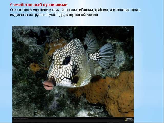 Семейство рыб кузовковые Они питаются морскими ежами, морскими звёздами, краб...