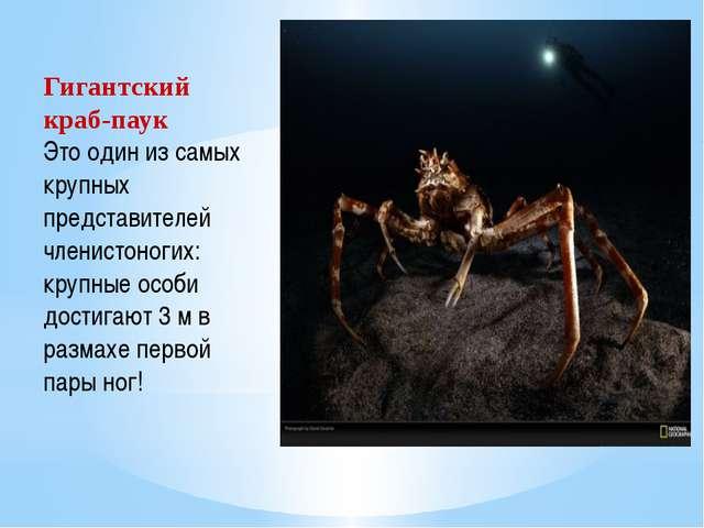 Гигантский краб-паук Это один из самых крупных представителей членистоногих:...