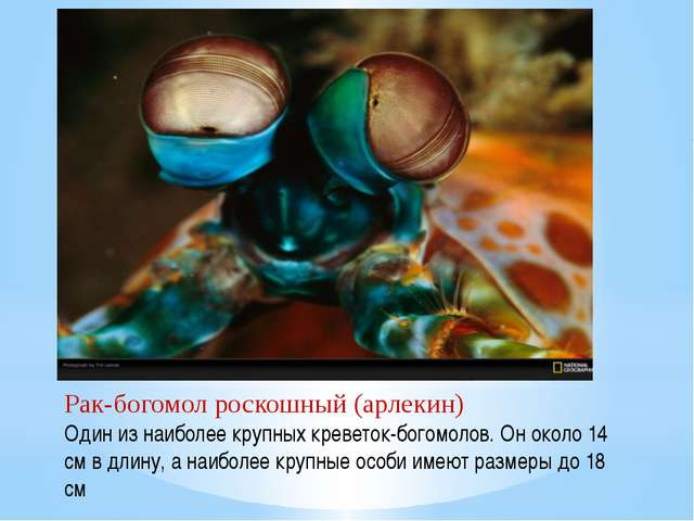 Рак-богомол роскошный (арлекин) Один из наиболее крупных креветок-богомолов....