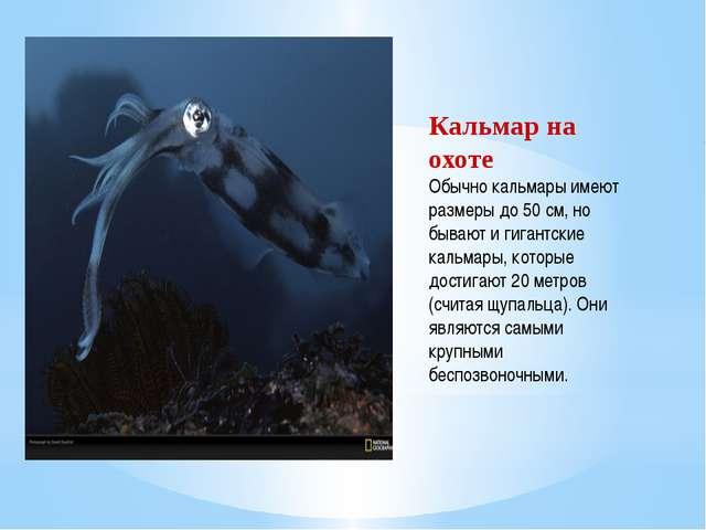 Кальмар на охоте Обычно кальмары имеют размеры до 50 см, но бывают и гигантск...