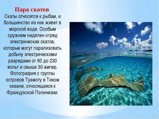 Пара скатов Скаты относятся к рыбам, и большинство из них живет в морской вод...