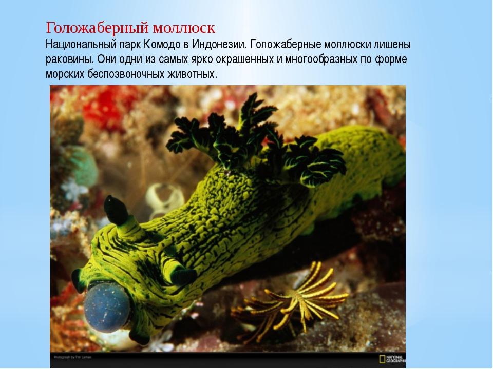 Голожаберный моллюск Национальный парк Комодо в Индонезии. Голожаберные моллю...