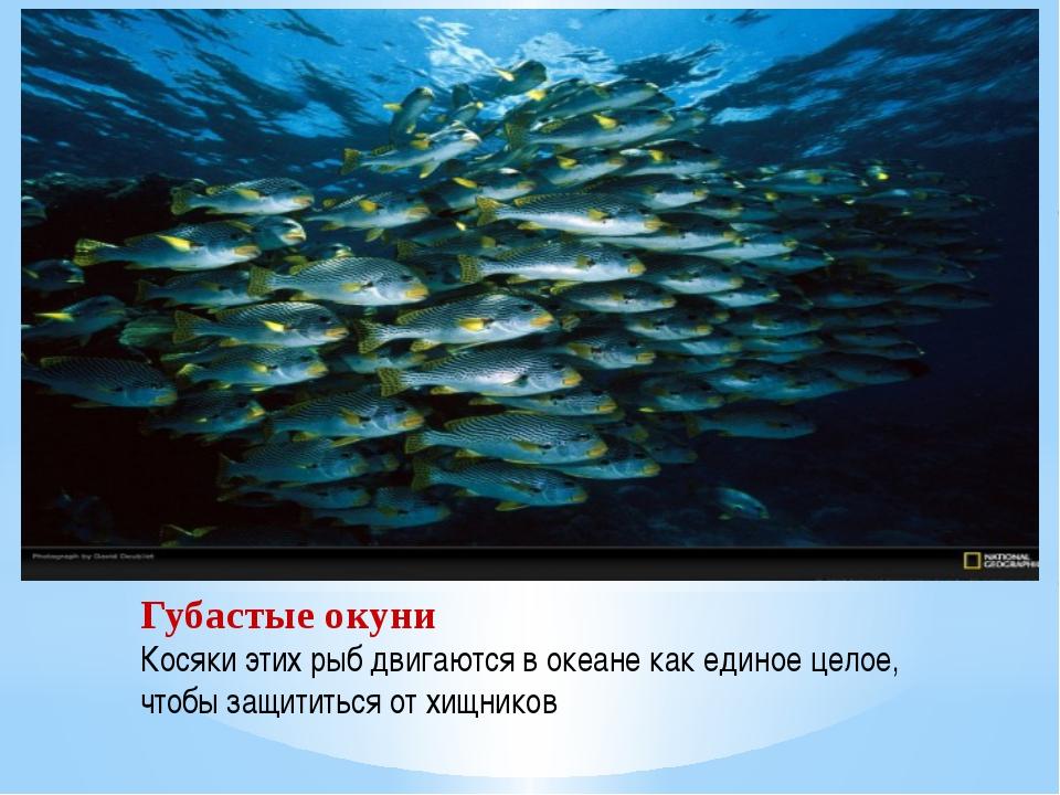 Губастые окуни Косяки этих рыб двигаются в океане как единое целое, чтобы защ...