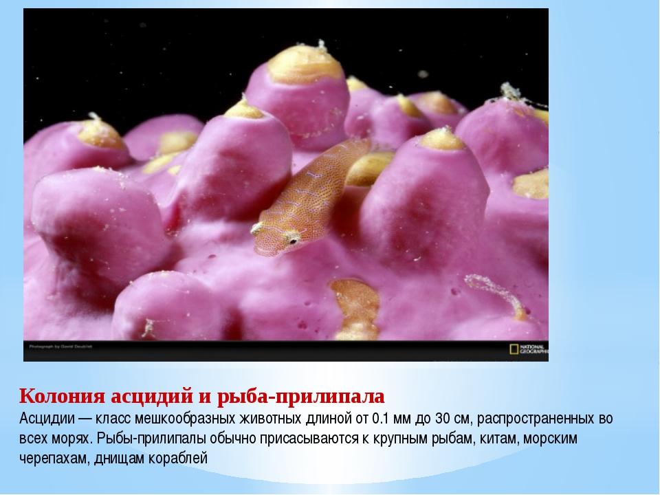 Колония асцидий и рыба-прилипала Асцидии — класс мешкообразных животных длино...