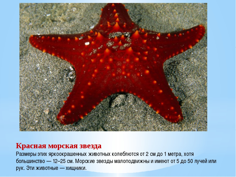 Красная морская звезда Размеры этих яркоокрашенных животных колеблются от 2 с...