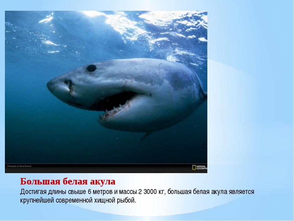 Большая белая акула Достигая длины свыше 6 метров и массы 2 3000 кг, большая...