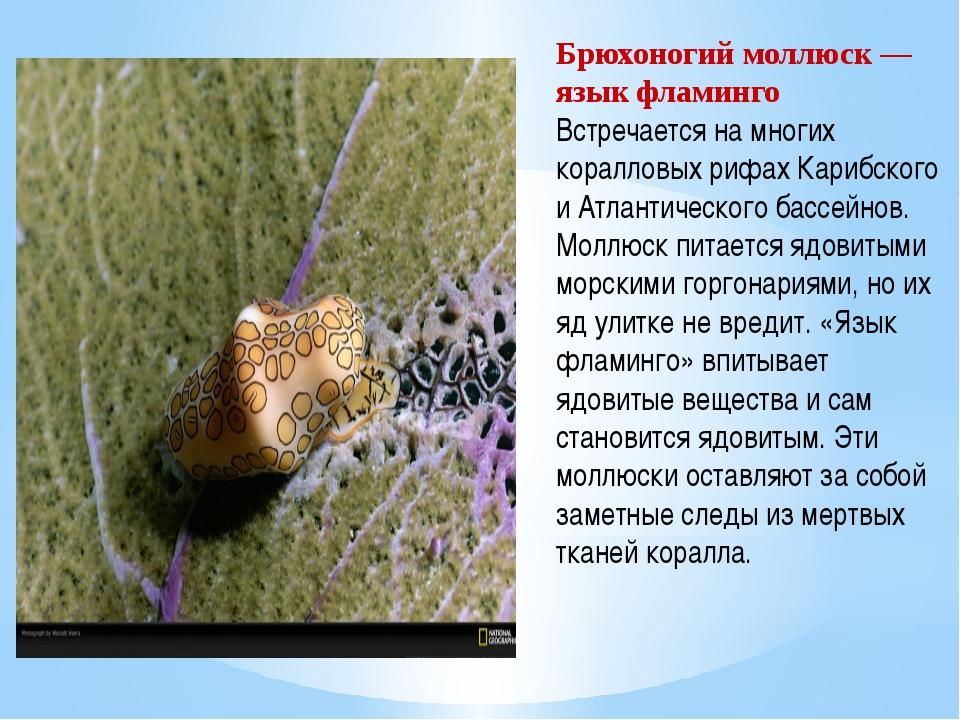 Брюхоногий моллюск — язык фламинго Встречается на многих коралловых рифах Кар...