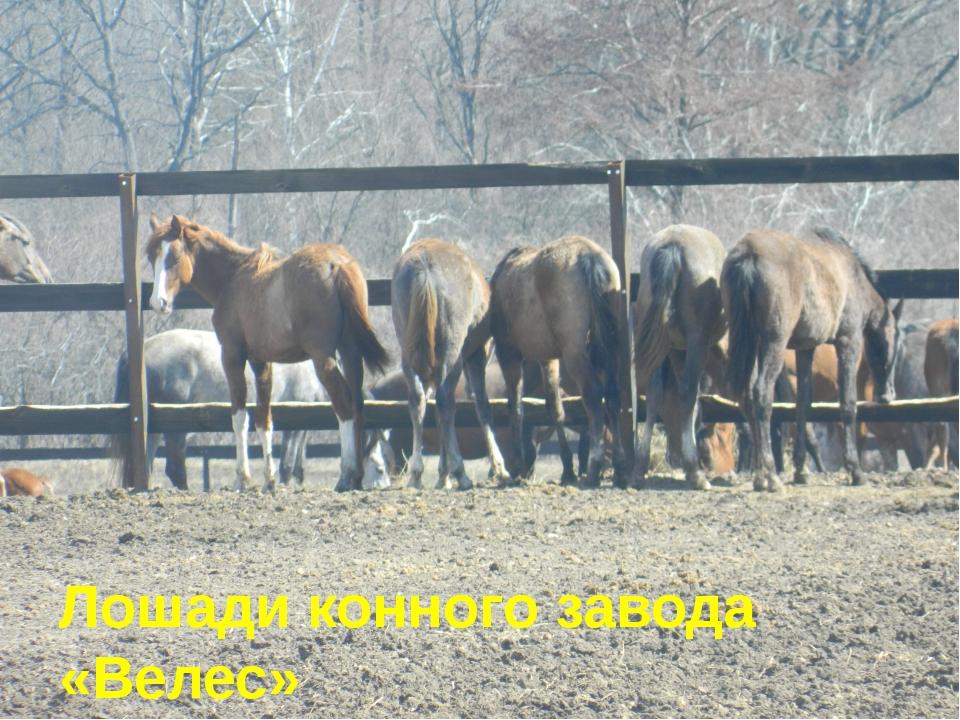 Лошади конного завода «Велес»