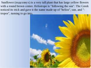 Sunflower (подсолнух) is a very tall plant that has large yellow flowers wit