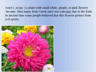 Aster ( астра ) a plant with small white, purple, or pink flowers became thei