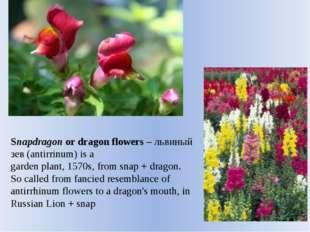 Snapdragon or dragon flowers– львиный зев (antirrinum) is a garden plant, 15