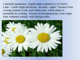 Camomile (ромашка) English name camomile is of French – Latin – Greek origin