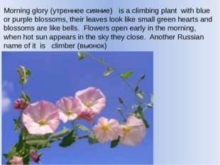 Morning glory (утреннее сияние) is a climbing plant with blue or purple bloss