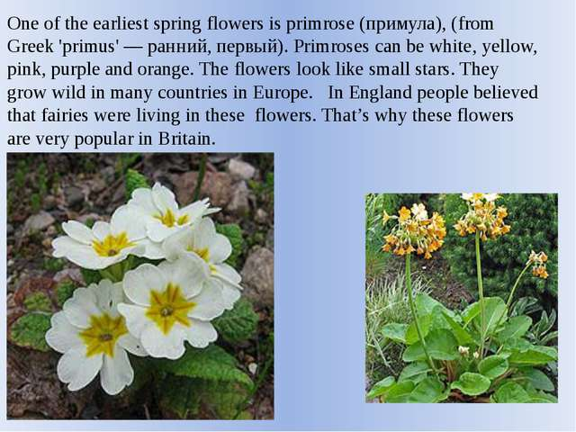 One of the earliest spring flowers is primrose (примула), (from Greek 'primus...