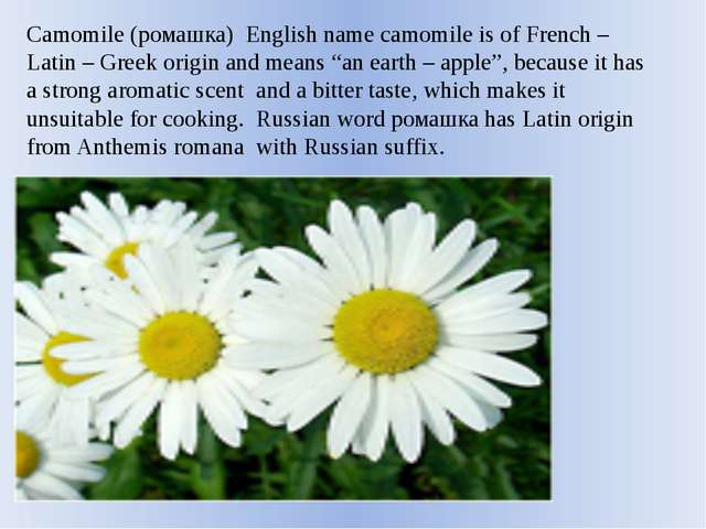 Camomile (ромашка) English name camomile is of French – Latin – Greek origin...