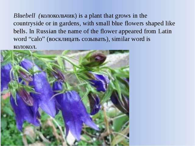 Bluebell (колокольчик) is a plant that grows in the countryside or in gardens...