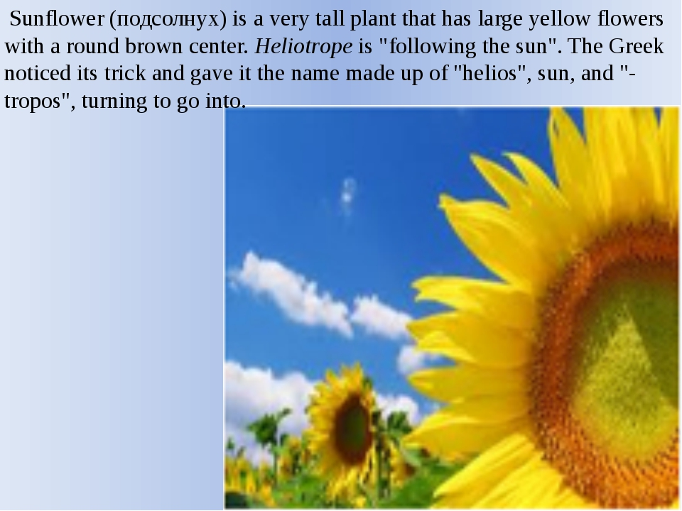 Sunflower (подсолнух) is a very tall plant that has large yellow flowers wit...